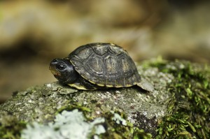 Baby Box Turtle (Terrapene carolina)