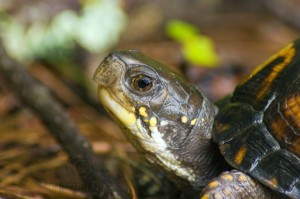 Female Box Turtle--Close Profile