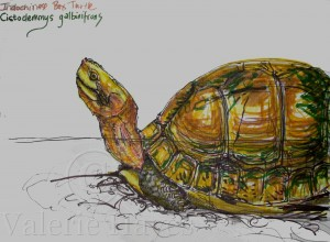 Marker pen sketch of an Indochinese Box Turtle