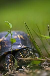 Nesting Box Turtle