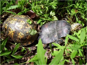 Two box turtles mating in the woods in Georgia.
