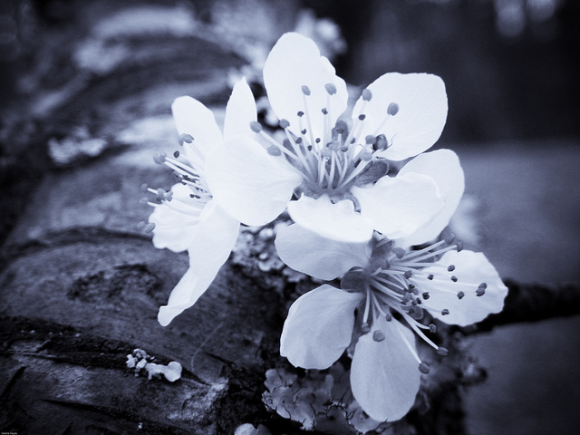Plum Blossom (digital selenium)