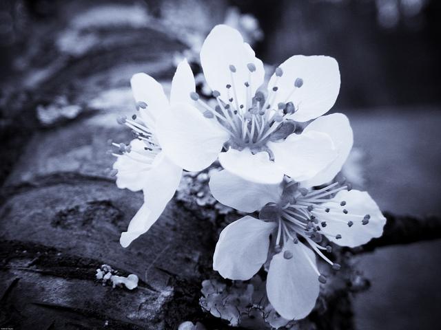 Plum Blossom (digital selenium)