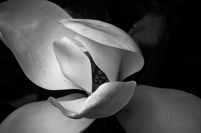 Magnolia 2