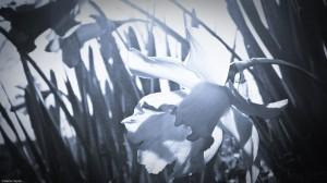 Daffodils 1--Cyanotype