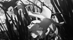 Daffodils 1--Tech Pan