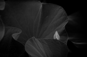 Lotus Bud 1--BW State 2wm
