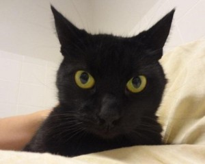 Midnight, a cat up for adoption from PETA.