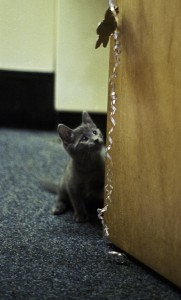gray kitten playing